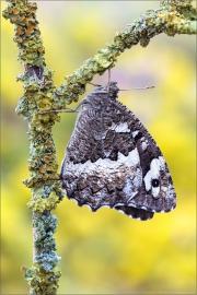 Weißer Waldportier (Brintesia circe) 05
