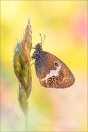 Weißbindiges Wiesenvögelchen (Coenonympha arcania) 01