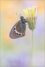 Alpen-Wiesenvögelchen (Coenonympha gardetta) 05