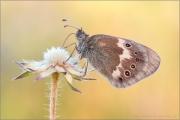 Großes Wiesenvögelchen (Coenonympha tullia) 09