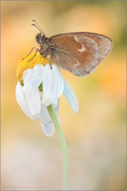 Großes Wiesenvögelchen (Coenonympha tullia) 10