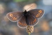 Mandeläugiger Mohrenfalter (Erebia alberganus) 02