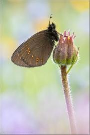 Mandeläugiger Mohrenfalter (Erebia alberganus) 03