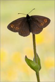 Mandeläugiger Mohrenfalter (Erebia alberganus) 04