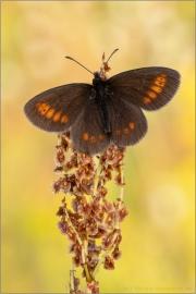 Kleiner Mohrenfalter (Erebia melampus) 02