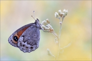Freyers Alpen-Mohrenfalter (Erebia styx) 08