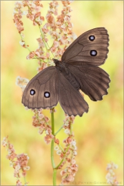 Blauäugiger Waldportier (Minois dryas) 02