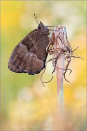 Blauäugiger Waldportier (Minois dryas) 07