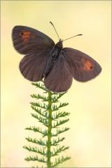 Schweizer Schillernder Mohrenfalter (Erebia tyndaru) 02