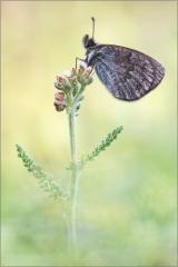 Schweizer Schillernder Mohrenfalter (Erebia tyndaru) 01