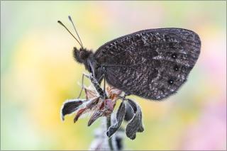 Marmorierter Mohrenfalter (Erebia montana) 01