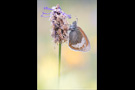 Alpen-Wiesenvögelchen (Coenonympha gardetta) 04