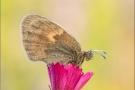 Kleines Wiesenvögelchen 08 (Coenonympha pamphilus)