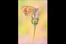 Kleines Wiesenvögelchen 07 (Coenonympha pamphilus)