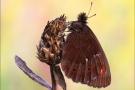 Weißbindiger  Mohrenfalter (Erebia ligea) 02