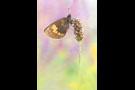 Gelbgefleckter Mohrenfalter (Erebia manto) 01
