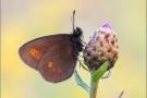 Kleiner Mohrenfalter (Erebia melampus) 01