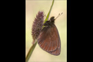 Blindpunkt Mohrenfalter (Erebia mnestra) 01