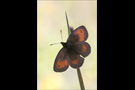 Blindpunkt Mohrenfalter (Erebia mnestra) 02
