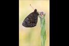 Quell-Mohrenfalter (Erebia pronoe) 01