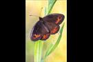 Freyers Alpen-Mohrenfalter (Erebia styx) 09
