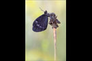 Freyers Alpen-Mohrenfalter (Erebia styx) 07