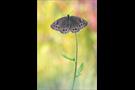 Gelbringfalter (Lopinga achine) 09