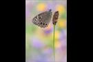 Gelbringfalter (Lopinga achine) 01