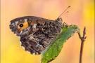 Ockerbindiger Samtfalter (Hipparchia semele) 06