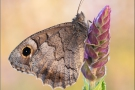 Kleine Rostbinde (Hipparchia statilinus) 04