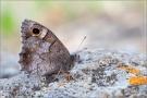 Kleine Rostbinde (Hipparchia statilinus) 05