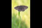 Gelbringfalter (Lopinga achine) 02