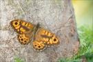 Mauerfuchs (Lasiommata megera) 07