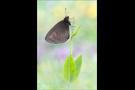Mandeläugiger Mohrenfalter (Erebia alberganus) 01
