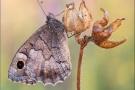 Kleine Rostbinde (Hipparchia statilinus) 06