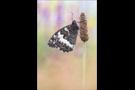 Weißer Waldportier (Brintesia circe) 04