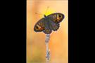 Braunauge (Lasiommata maera) 01