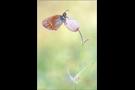 Alpen-Wiesenvögelchen Aberration (Coenonympha gardetta) 02