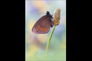 Rundaugen-Mohrenfalter (Erebia medusa) 02