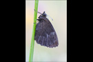 Felsen-Mohrenfalter (Erebia gorge) 01
