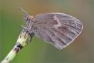 Kleines Wiesenvögelchen 05 (Coenonympha pamphilus)