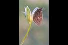 Kleines Wiesenvögelchen 04 (Coenonympha pamphilus)