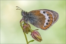 Alpenwiesenvögelchen 01 (Coenonympha gardetta)