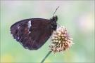 Weißbindiger Mohrenfalter 01 (Erebia ligea)