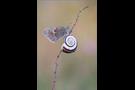 Kleines Wiesenvögelchen 02 (Coenonympha pamphilus)