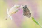 Kleines Wiesenvögelchen 01 (Coenonympha pamphilus)