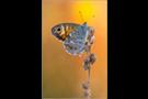 Braunauge (Lasiommata maera) 02