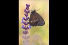 Blauäugiger Waldportier (Minois dryas) 06