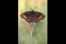 Quell-Mohrenfalter (Erebia pronoe) 02