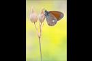 Rotbraunes Wiesenvögelchen (Coenonympha glycerion) 02
